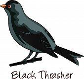 Brown Trasher, Color Illustration