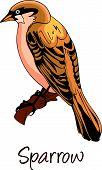 Sparrow, Color Illustration