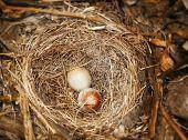 Eggs Of Dark-eyed Junco