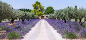Lavander Garden