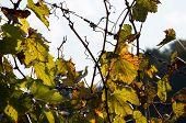Autumn In Wineyard