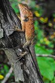 stock photo of giant lizard  - Big Typical Orange Lizard on the Wood in Vietnam - JPG
