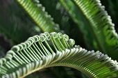 Green Curly Cycad