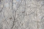 the background frozen winter branches in the ice