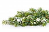 Christmas fir tree snow branch. Isolated on white background