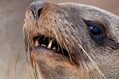 Portrait Of Brown Fur Seal - Sea Lions In Namibia