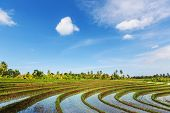 green rice  fields in Indonesia