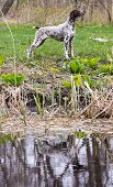 hunting dog - german shorthaired pointer standing by the water's edge
