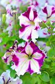 White And Purple Petunia Flowers