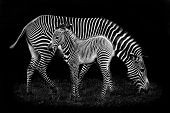 image of mother baby nature  - Baby Zebra and Mother Against Black Background - JPG