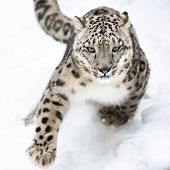picture of leopard  - A Snow Leopard Running in the Snow - JPG