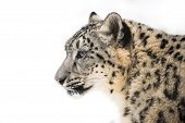 stock photo of leopard  - Profile Portrait of Snow Leopard in Snow - JPG