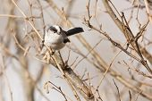 picture of tit  - long tailed tit perched in a tree - JPG