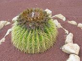 picture of mother law  - Mother in laws cushion or Golden ball barrel cactus (echinocavtus grusonii) on Fuerteventura one of the Canarian islands in the Atlantic Ocean
