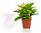 foto of crown-of-thorns  - Euphorbia milii  - JPG