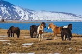 stock photo of horse-breeding  - Local Icelandic horse located in northern Iceland - JPG