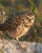 picture of angry bird  - Florida Burrowing Owl with Angry Look on Face - JPG