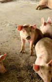 stock photo of animal husbandry  - example of Thai stlye commercial pig farm - JPG