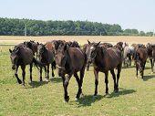 stock photo of bohemia  - unique Starokladruby horses eastern Bohemia - JPG