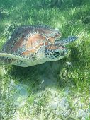 foto of green turtle  - The Big Turtle near The Green Island - JPG