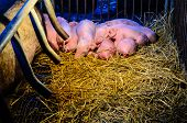 picture of beside  - Newborn pigs sleeping together on the straw beside his mother at night under the light which provide warmth in rural farm of Thailand