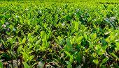 stock photo of darjeeling  - green tea plantation landscape of Darjeeling India - JPG