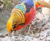 stock photo of pheasant  - The golden pheasant or Chinese pheasant, (Chrysolophus pictus) is a gamebird of the order Galliformes (gallinaceous birds) and the family Phasianidae (pheasants).