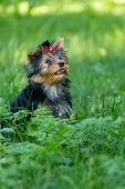 stock photo of yorkshire terrier  - Puppy Yorkshire Terrier walking in the Park on green grass - JPG