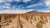 stock photo of quinoa  - Quinoa fields in the south american altiplano in bolivia - JPG