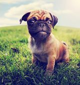 foto of spayed  -  a cute baby pug chihuahua mix  - JPG
