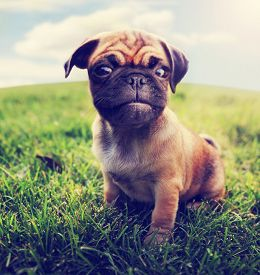stock photo of chug  -  a cute baby pug chihuahua mix  - JPG