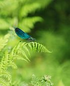 image of mayfly  - Close up of a blue mayfly in a blurry green background - JPG