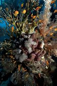 Net Fire Coral And Anthiasl In The Red Sea.
