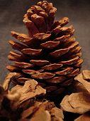 Northern Pine Cones