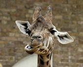 stock photo of funny animals  - a funny face being pulled by a giraffe - JPG