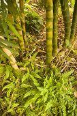 Bambus und Nephrolephis Exaltata