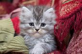 Persian kitty