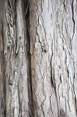 Bark of Yew Tree