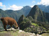 Llama Infront Of Manchu Picchu