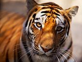 picture of tigress  - Tiger in the Novosibirsk zoo - JPG