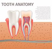 Realistic Illustration Tooth Anatomy In 3d Vector. Image Human Tooth In Section In Gum. Banner Medic poster