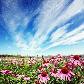 purple cone flower (echinacea) in field with blue sky