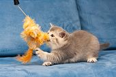 Gray British Kitten Plays With The Furry Orange Toy On The Blue Sofa, The Cat Biting The Toy. poster