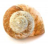 Golden snail spiral shell