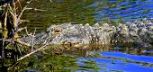 American Alligator Soaking Up The Sun