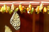 stock photo of cocoon tree  - newly transformed Tree Nymph butterfly hanging on a cocoon - JPG