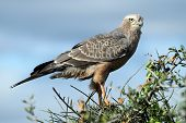 pic of goshawk  - Young Pale Chanting Goshawk bird of prey perched on top of a tree - JPG