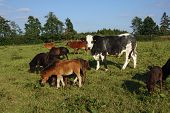 pic of zebu  - Mixed herd of cattle on a pasture  - JPG
