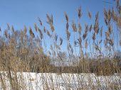 View To Frozen Lake Through Reed