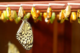 pic of cocoon tree  - newly transformed Tree Nymph butterfly hanging on a cocoon - JPG